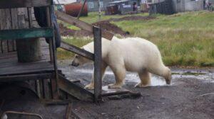 Помогите WWF предотвратить конфликты от встреч местных жителей с редкими арктическими хищниками!