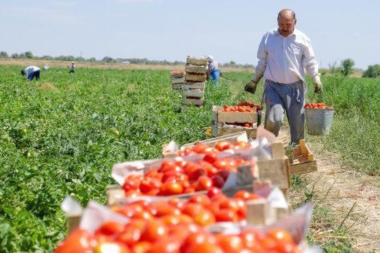 Турецкий помидор рвется на российские прилавки: Чем это грозит?