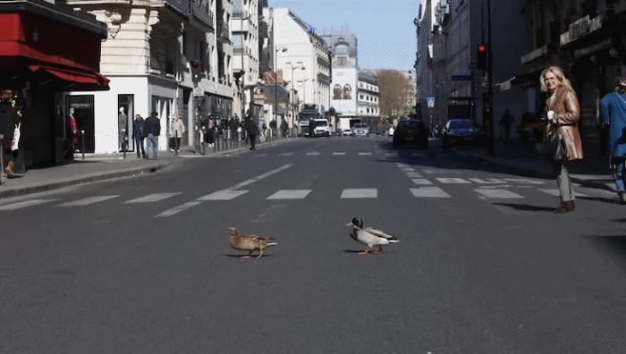 Животный мир возвращается в города: утки в Париже, лисы в Лондоне, а козлы «захватили» Уэльс