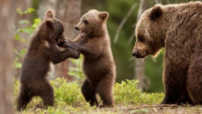 Медведи набираются сил