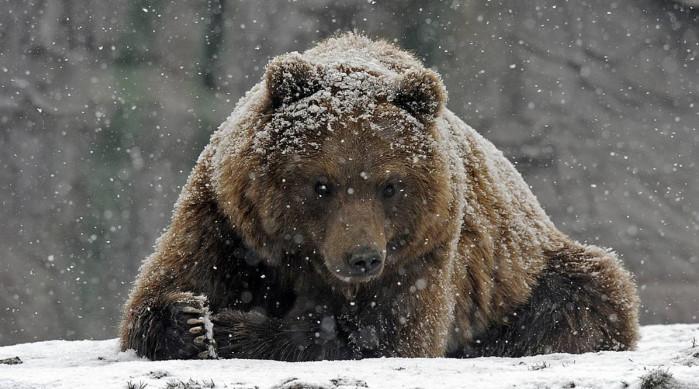 Не все медведи спят зимой