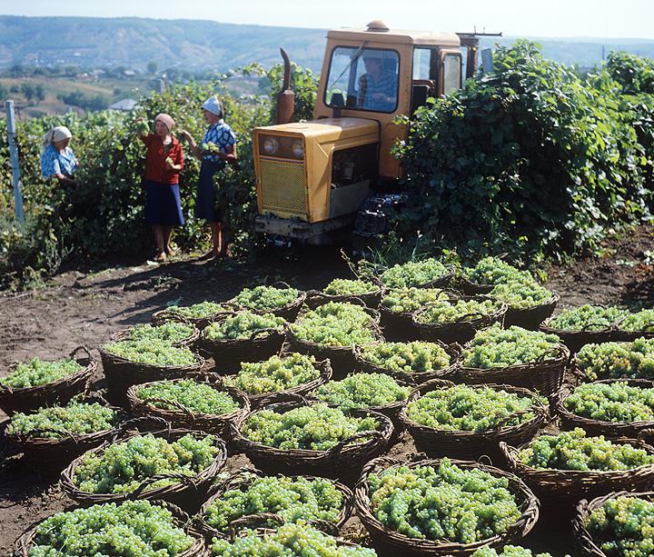 1982 год, Молдавская ССР. Корзины с виноградом, готовые к отправке в магазины.