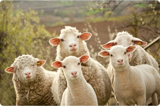 Украинцы доказали: «Человек человеку - овца»